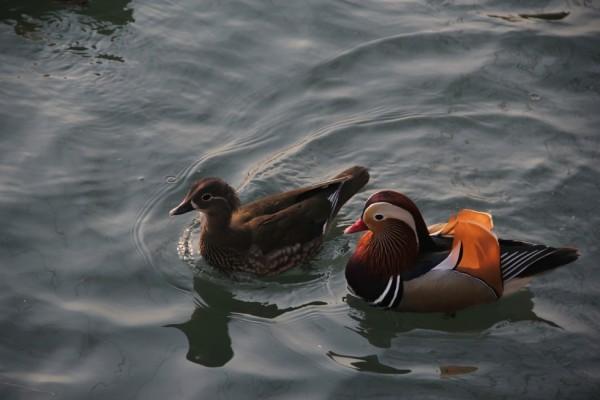 mandarin-duck-416290_1280